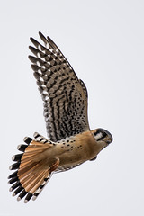 Falcon flight (Fred Roe) Tags: nikond7100 nikonafsnikkor200500mm156eed nature naturephotography national animals birds birding birdwatching birdwatcher wildlife wildlifephotography americankestrel falcon raptor falcosparverius colors outside flickr peacevalleypark