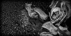 Last legs of the rose. . . (CWhatPhotos) Tags: cwhatphotos olympus pen f micro bw mono monochrome black white four thirds 43 digital camera photographs photograph pics pictures pic picture image images foto fotos photography photo tint artistic that have which with contain art penf mark 2 light shadow shadows yellow bright color colour colors colours table top red zuiko 60mm mzuiko macro rose flower bud plant nature flickr decay dry dried dead decaying