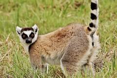 Ring Tailed Lemur Portrait (Lemur catta) (Susan Roehl) Tags: •madagascar2017 islandofmadagascar offtheeastcoastofafrica berentyreserve ringtailedlemur lemurcatta animal mammal criticallyendangered largelemur strepsirrhineprimate lemuridaefamily endemic galleryforests sponyscrub southernregion maki omnivore mostterrestrial diurnal highlysocial femaledominant sunbathe goodsenseofsmell scentmarking mostvocal 2000individuals habitatloss hunting poaching bushmeat sueroehl photographictours naturalexposures panasonic lumixdmcgh4 100400mmlens handheld grass coth5 ngc npc