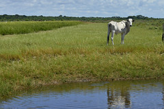 Espelho meu! (Márcia Valle) Tags: bahia caravelas brasil brazil nature natureza márciavalle nikon d5100 tropical verão summertime lagoa pond bezerro cattle