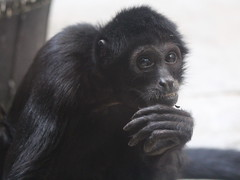 Robust Black Spider Monkey (FitchDnld) Tags: clevelandmetroparkszoofebruary32019 cleveland metroparks zoo clevelandmetroparkszoo clevelandohio ohio clevelandmetroparks clevelandzoo ohiozoo animal mammal primate robust black spider monkey robustblackspidermonkey spidermonkey