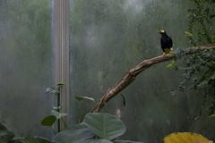 Papoeamaina (KevinVar) Tags: bird rotterdam zoo myna