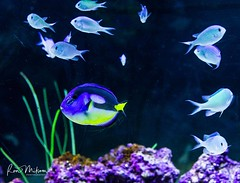 _X4C7137 (Ron Milsom) Tags: bluereefaquarium newquay cornwall uk