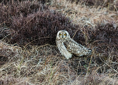 Wildlife March 17th 2019 077-Edit (Mark Schofield @ JB Schofield) Tags: reservoir water peat moorland bog moss agriculture yorkshire huddersfield wessenden head pule buckstones scammonden royd edge valley holme colne marsden meltham digley march haigh west nab deer emley mast lapwing curlew hare bird wildlife oyster catcher chick young short eared owl pennine way south pennines peak national park trust hills moors vallies hunting little duck mallard grouse kestrel red grey wagtail flight fly