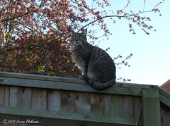 March 26th, 2019 Willow Meow Mau on evening patrol (karenblakeman) Tags: caversham uk cat tabby willowmeowmau garden tree fence cavershamgarden march 2019 2019pad reading berkshire