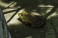 Bullfrog on a box (tgpotterfield) Tags: lithobatescatesbeianus lithobates ranidae anura amphibians bullfrog westtisbury massachusetts unitedstates