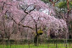 Sakura (walkkyoto) Tags: 桜 sakura 京都御苑 kyotogyoen 京都 kyoto 日本 japan m1240mmf28pro