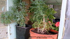 Marguerite cuttings from 2018 on balcony 20th March 2019 003 (D@viD_2.011) Tags: marguerite cuttings from 2018 balcony 20th march 2019