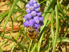 Biene auf Traubenhyazinthe (Jörg Paul Kaspari) Tags: muscari armeniacum muscariarmeniacum kelberg garten armenische traubenhyazinthe blüte flower bulb zwiebelpflanze frühling spring azurblau violettblau biene bee