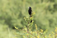 White Winged Widowbird (Rorals) Tags: southafrica bird wildlife safari kruger птушка ptica птица pták fugl vogel lind lintu oiseau πουλί madár éan uccello putns paukštis għasfur ptak pássaro pasăre vták pájaro fågel птах widowbird
