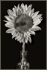 Sunflowers #3 2019; Glass Vase (hamsiksa) Tags: plants flora vegetation botanicals botany plantsex flowers blossoms blooms asteraceae helianthus sunflowers stilllife stilllifes studio studioshot blackandwhite
