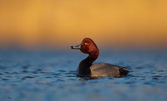 RedHead Drake calling (Corey Hayes) Tags: redhead duck