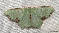 Geometer moth, Geometridae (Ecuador Megadiverso) Tags: andreaskay ecuador geometermoth geometridmoth geometridae moth wildsumaco