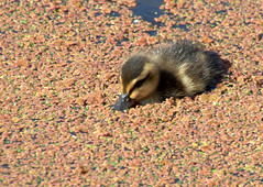Duckling working through the brown canal at Preston (Tony Worrall) Tags: ducks ducklings wild wildlife nature natural swim canal wet water sunlit beauty cute nice preston lancs lancashire city welovethenorth nw northwest north update place location uk england visit area attraction open stream tour country item greatbritain britain english british gb capture buy stock sell sale outside outdoors caught photo shoot shot picture captured ilobsterit instragram photosofpreston ashtononribble ashton