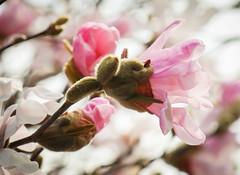 pink magnolias (Christine_S.) Tags: spring flowers canon nature eos mirrorless japan macro blossoms buds flower magnolia closeup tree bokeh m5 efm18150mm ngc npc