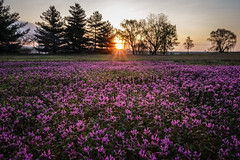 Wild Flowers at the Arlington, Virginia (Youchun Yao) Tags: wildflowers washingtondc arlingtonva