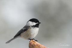 Paused (craig goettsch - out shooting) Tags: bird avian nature wildlife animals chickadee blackcappedchickadee nikon d850