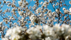 Blossom (Nicola Pezzoli) Tags: val gandino seriana bergamo italia italy nature spring leffe ceride san rocco flower blossom fiori ciliegio pianta tree blue sky