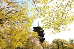 Fresh green (Teruhide Tomori) Tags: spring tree pagoda 五重塔 kyoto japan japon toji architecture building construction tradition 京都 東寺 寺院 モミジ 新緑 leaves green maple 日本 庭園 garden