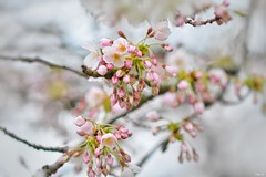 Blossom buds! (Nina_Ali) Tags: pastel bokeh blossom blossombuds whitebackground flora flowers spring2019 nature ninaali