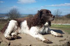 Benjy (billnbenj) Tags: benjy spaniel springerspaniel king kingofhowtunwoods dog barrow cumbria