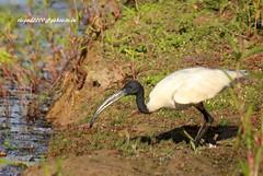 IMG_1687 Black-headed Ibis (Threskiornis melanocephalus) (vlupadya) Tags: greatnature animal bird aves fauna indianbirds blackheased ibis threskiornis karnataka mslysdi