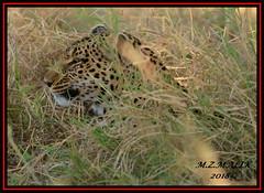 LEOPARD (Panthera pardus) ...MASAI MARA.....SEPT 2018. (M Z Malik) Tags: nikon d800e 400mmf28gedvr kenya africa safari wildlife masaimara keekoroklodge exoticafricanwildlife exoticafricancats flickrbigcats leopard pantheraparduc ngc npc