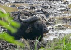African Buffalo (Syncerus caffer) having a mud bath ... (berniedup) Tags: hluhluwe hluhluweimfolozi africanbuffalo synceruscaffer buffalo taxonomy:binomial=synceruscaffer