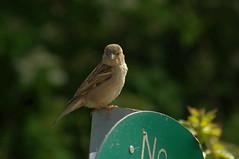 House Sparrow (female) (DV Nature Pictures) Tags: female house sparrow castle donnington bird birds birding birdwatch bto rspb nature wildlifen