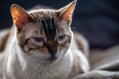 Kira-3 (jsvachon) Tags: animal animals animaux brun cat cats chat chats feline félin kira pet pets beige brown