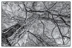Old tree at Bix Bottom (FlickrDelusions) Tags: aonb bbowt tamronsp1024mmf3545diii oxfordshire ruins church bix blackandwhite chilternhills bixbottom warburgnaturereserve bw chilterns naturereserve bixoldchurch henleyonthames england unitedkingdom gb