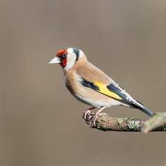Close to the Edge (DavidHowarthAgain) Tags: oldmoor southyorkshire rspb winter february 2019 goldfinch cardueliscarduelis