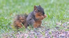 Baby Squirrel Learning To Feed Itself (Kaptured by Kala) Tags: sciurusniger foxsquirrel squirrel garlandtexas babysquirrel baby alone cute outsidemywindow eating feeding learning birdseed