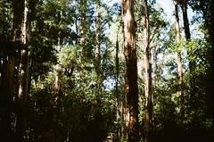 Forest (Matthew Paul Argall) Tags: kodak335 fixedfocus focusfree 35mmfilm kodakultramax400 kodak400 ultramax 400isofilm forest mountdandenong trees plant plants