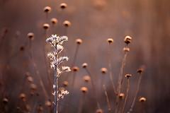 Winterblumen (geraldtourniaire) Tags: canon schärfentiefe natur nebel gegenlicht gräser 6d eos6d ef28100lmacroisusm