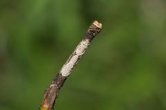 IMG_4730  尺蛾科 Geometridae (vlee1009) Tags: 2019 60d canon march nantou taiwan nature caterpillars moths
