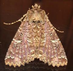 Safida druceria (Birdernaturalist) Tags: catocalinae costarica erebidae lepidoptera moth richhoyer