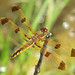 Painted skimmer (Libellula semifasciata) - foty - new!