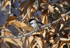 Black Capped Chickadee (mikedaub30) Tags: bird nature outside nikkor trees white black orange tan winter
