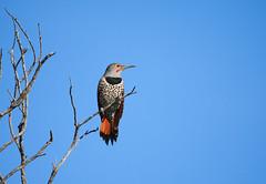 (Tony P Iwane) Tags: contracostacounty ebrpd colaptesauratus woodpecker bird birding birds eastbay eastbayregionalparks pointpinole pointpinoleregionalshoreline birdphotography birdwatching