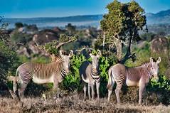 Grevys Zebra (Equus Grevyi) Laikipia (Phil Gate Keeper) Tags: equus grevyi zebra laikipia kenya nikon plains savannah