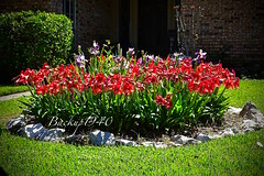 Cinco Ranch Neighborhood ! (backup1940) Tags: backup1940 sevenmeadows cincoranch flowers pembrough driveby