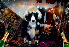 Partying the Night Away to welcome in 2019 (ASHA THE BORDER COLLiE) Tags: happy new year 2019 blondes fun christmas funny dog picture border collie wild party animal ashathestarofcountydown connie kells county down photography