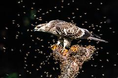 Oriental Honey Buzzard (Ben-ah) Tags: honey 台灣 蜂鷹 buzzard orientalhoneybuzzard crestedhoneybuzzard bee eagle bird taiwan pernisptilorhyncus