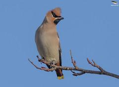 Waxwing @ Hednesford, Staffs (Mick Erwin) Tags: rowan nikon afs 600mm f4e fl ed vr lens tc14e teleconverter iii d850 mick erwin stoke trent staffordshire wildlife nature waxwing hednesford tree sky bird