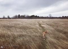 Winterdag in de duinen met Kay (Nicolette Vermeulen) Tags: bewolkt gras landscape landschap nederland winter zeeuws schouwenduiveland duinen zeeland natuur nature puppy hond dog staffy stafford amstaff