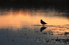 Redshank - Sunset at Druridge Ponds (Gilli8888) Tags: nikon p900 coolpix northumberland birds waterbirds redshank druridge druridgeponds sunset silhouette silhouettephotography wader northeast countryside nature wildlife