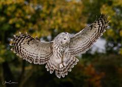 Ural Owl (Ukfalc) Tags: uralowl owl bird birdofprey raptor strixuralensis animal icbp internationalcentreforbirdsofprey newent gloucestershire canon 7dii 70300l 2018