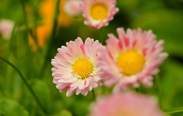Обои Весна, Spring, Маргаритки картинки на рабочий стол, раздел цветы - скачать