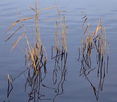More reeds reflections. (XPC1217) Tags: brockholes samlesbury preston canon6d canon sigma150600 lancashire